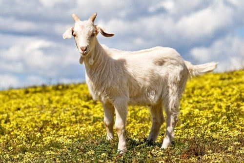 Awesome goat