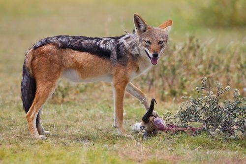 Awesome jackal