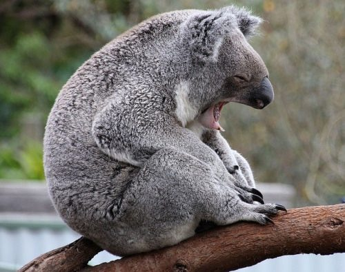 Awesome koala