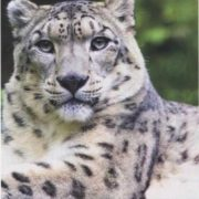 Awesome snow leopard