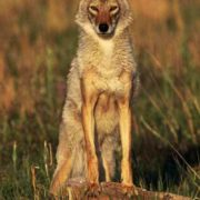 Beautiful coyote