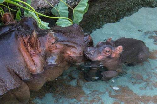Beautiful hippopotamus
