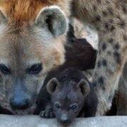 Beautiful hyenas