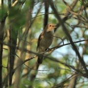 Beautiful nightingale