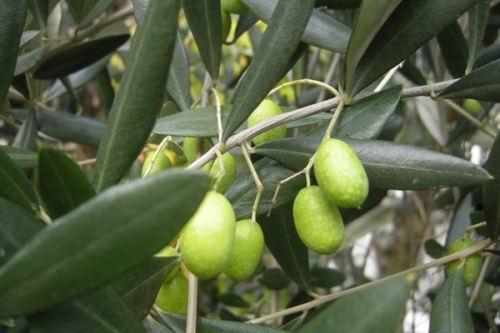 Beautiful olive