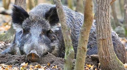 Beautiful pig