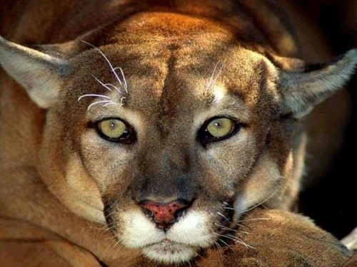 Beautiful puma