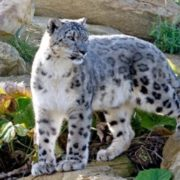 Beautiful snow leopard