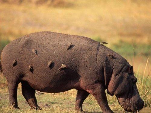 Birds on the hippo