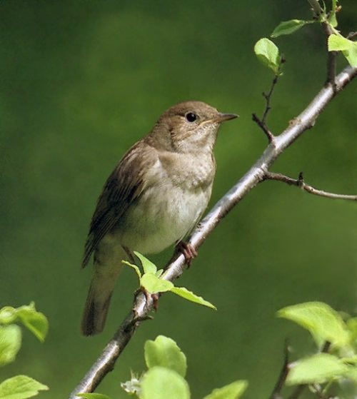 Black-billed nightingale-thrush