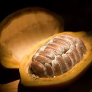Cacao pod opened