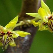 Charming cacao tree flowers
