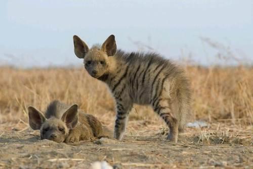 Charming hyenas