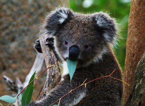 Charming koala