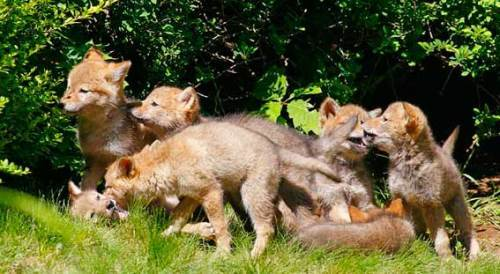Charming little coyotes