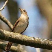 Charming nightingale