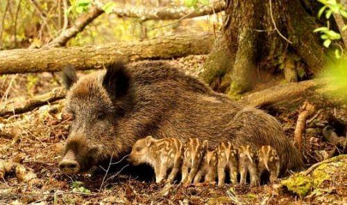 Charming pigs