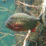 Charming piranha