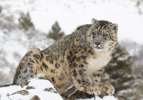 Charming snow leopard