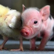 Chicken and piglet