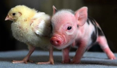 Chicken and piglet