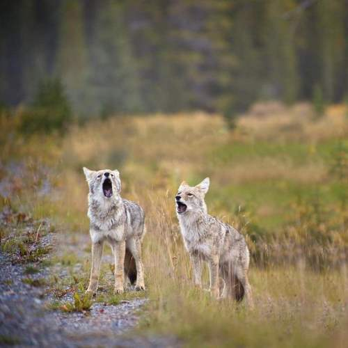 Couple of coyote