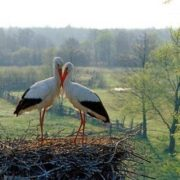 Couple of storks