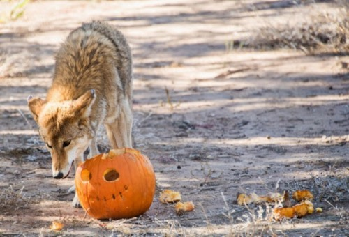 Coyote and pumpkin