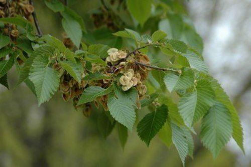 Cute elm