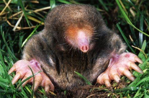 Cute mole