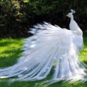 Cute peacock