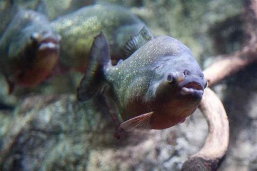 Cute piranha