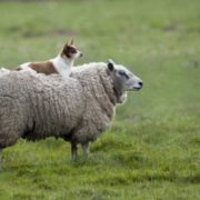 Dog is resting on the sheep's back