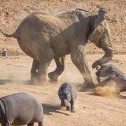 Elephant vs hippos