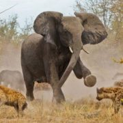 Elephant vs hyenas