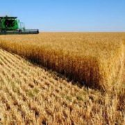 Farmers harvest wheat using a combine