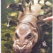 Fish clean the skin of hippo from parasites