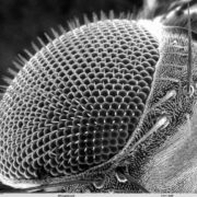 Fly's eye under a microscope