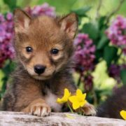 Gorgeous baby coyote