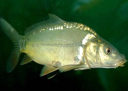 Gorgeous carp