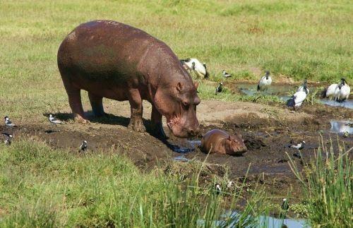 Gorgeous hippopotamus