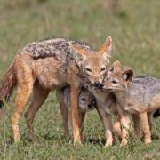 Gorgeous jackals