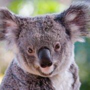 Gorgeous koala