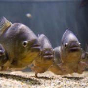 Gorgeous piranha