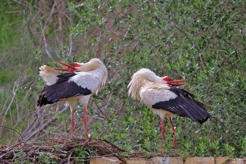 Gorgeous storks