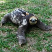 Graceful sloth