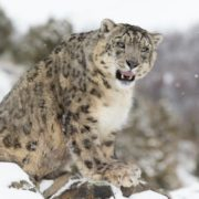Graceful snow leopard