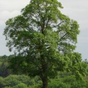 Great elm