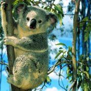 Great koala