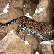 Great leopard